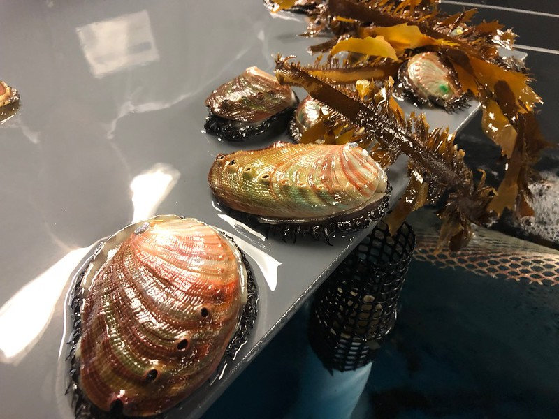 Red abalone raised at the NOAA Southwest Fisheries Science Center. Credit: Heather Kramp, California Sea Grant State Fellow 2017